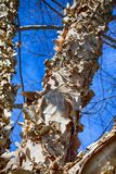 Paperbark Birch with Curling Bark royalty free stock images