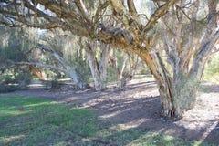 Paperbark drzewo Obrazy Royalty Free