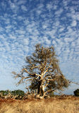 Paperbark tree. Australian paperbark tree stands alone against a summer sky Royalty Free Stock Image