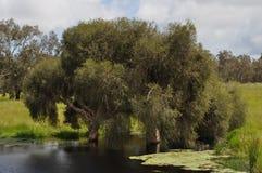 Paperbark tree in lake soak water Stock Photo