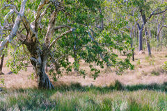 Paperbark Tree stock image