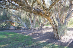 The Paperbark tree Royalty Free Stock Images