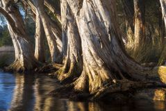 Paperbark trees on lake Stock Images
