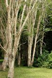 Paperbark trees in the Stock Images