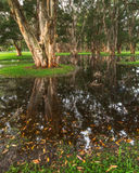 Paperbark trees in the swampy area Stock Photos