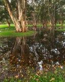 Paperbarkbomen in het moerassige gebied Stock Foto's