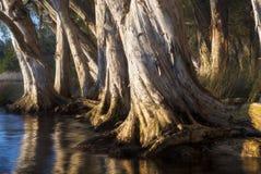 Paperbarkbomen op meer Stock Afbeeldingen