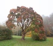 Paperbarkboom in de herfstmist Royalty-vrije Stock Afbeeldingen