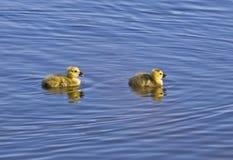 Papere appena nate fuori per una nuotata Fotografia Stock Libera da Diritti