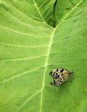 Paperkitevlinder op groot groen blad stock foto's