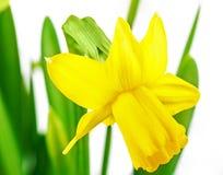 Paperwhite daffodils Zdjęcia Stock