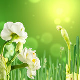 Paperwhite daffodils Royalty Free Stock Photography