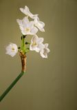 paperwhite narcissus цветка Стоковая Фотография