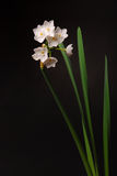 Paperwhite Narcissus Royalty Free Stock Photography