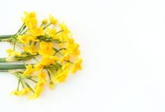 Paperwhite Narcissus Soleil Dor sur le fond blanc Photos libres de droits