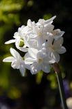 Paperwhite Ziva Tazetta Daffodil Royalty Free Stock Photos