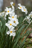 Paperwhites Stock Images