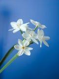 Paperwhites op Blauw Royalty-vrije Stock Afbeeldingen