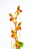 Paph booth's sand lady Royalty Free Stock Photo