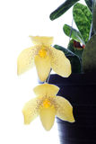 Paph Maudiae lady slipper orchid Stock Images