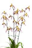 Paph moquettianum '(espèces)' (x) Images stock