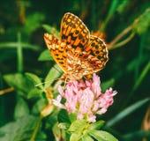 Paphia Argynnis μητέρων πεταλούδων του μαργαριταριού στο λουλούδι τριφυλλιού Στοκ Εικόνες