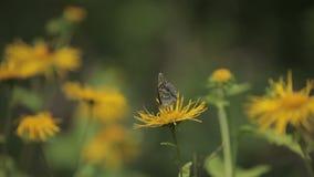 Paphia d'Argynnis de papillon banque de vidéos