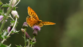 paphia Prata-lavado do Argynnis do fritillary Fotografia de Stock Royalty Free