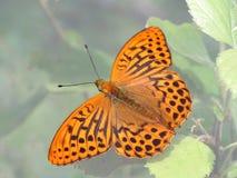 Paphia van Argynnis. Royalty-vrije Stock Foto