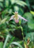 Paphiopedilum орхидеи розовой дамы тапочки Стоковые Изображения RF