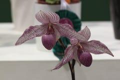 Paphiopedilum, орхидея стоковые фотографии rf