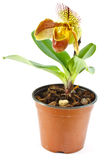 Paphiopedilum Royalty Free Stock Photography