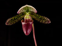 Paphiopedilum Stock Photography