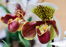 Paphiopedilum Stock Photos