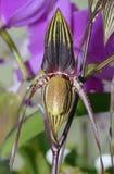 Paphiopedilum adductum Orchid Stock Images