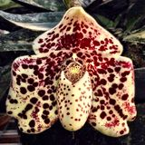 paphiopedilum bellatulum Zdjęcie Royalty Free