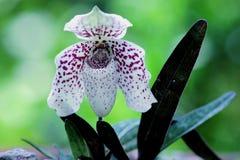 Paphiopedilum bellatulum lizenzfreie stockfotos