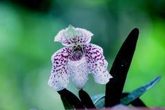 Paphiopedilum bellatulum Stock Photo