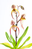 Paphiopedilum Booth's Sand Lady Royalty Free Stock Photo