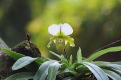 Paphiopedilum Burno. Hybrid orchid flower Stock Images