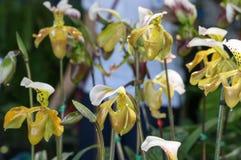 Paphiopedilum at garden. Paphiopedilum Close up in the morning stock photos