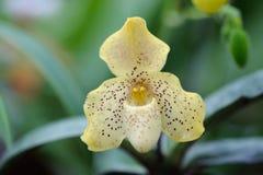 Paphiopedilum concolor Stock Image