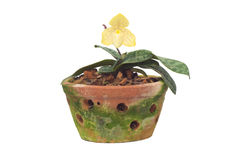 Paphiopedilum concolor Var stratianum Royalty Free Stock Photography