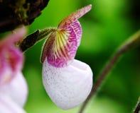 Paphiopedilum d'orchidée Photographie stock libre de droits