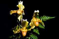 Paphiopedilum 12 d'orchidée Photo libre de droits