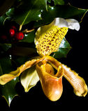 Paphiopedilum d'orchidée Photo libre de droits