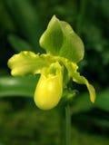 Paphiopedilum dans le fond naturel, orchidée Photos stock
