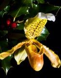 Paphiopedilum dell'orchidea fotografia stock libera da diritti