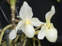 Paphiopedilum Deperle Hybrid Orchid Stock Photos