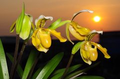 Paphiopedilum flower. Lady slipper flower with sunset stock photos